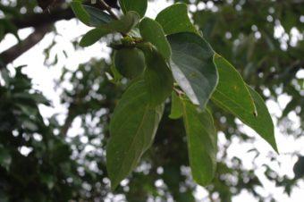 柿渋を作る作業は季節的にそろそろ開始です。