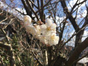 桜咲きました〜