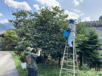 柿渋作り2020!